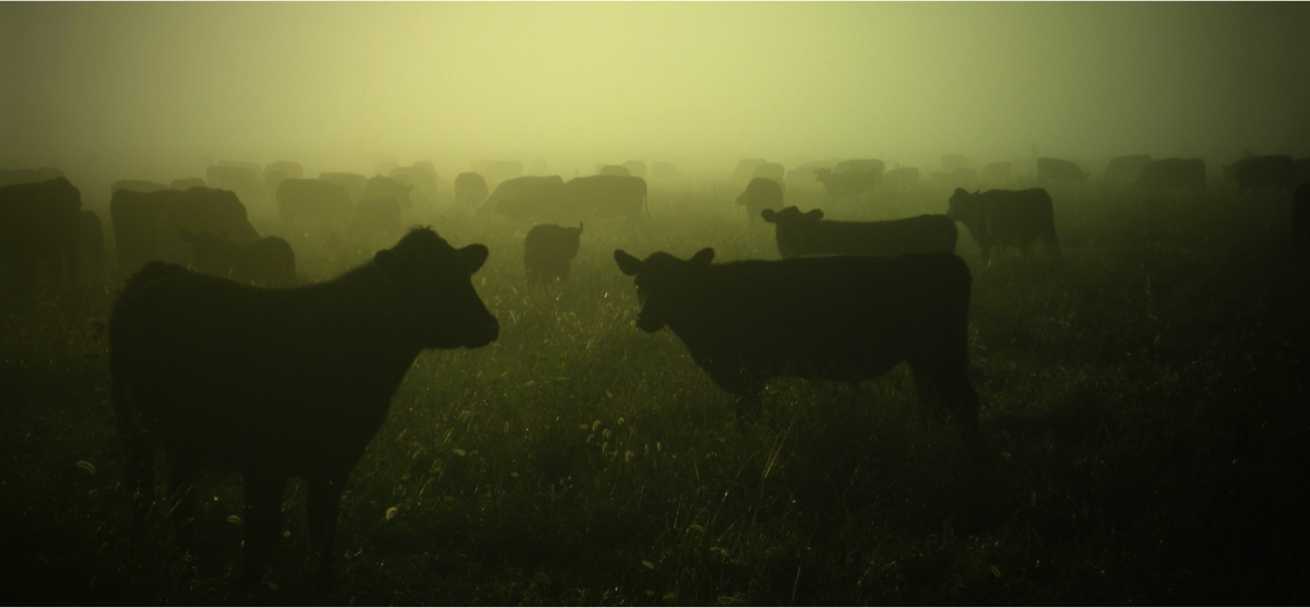 Cows in green fog_news dimensions