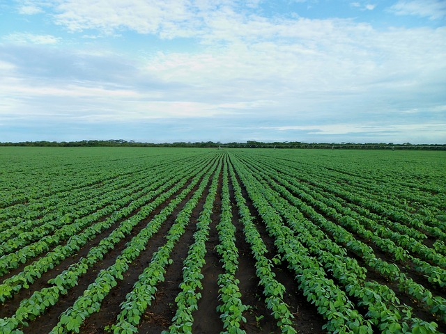 soybean-field-1610754_640 (1)