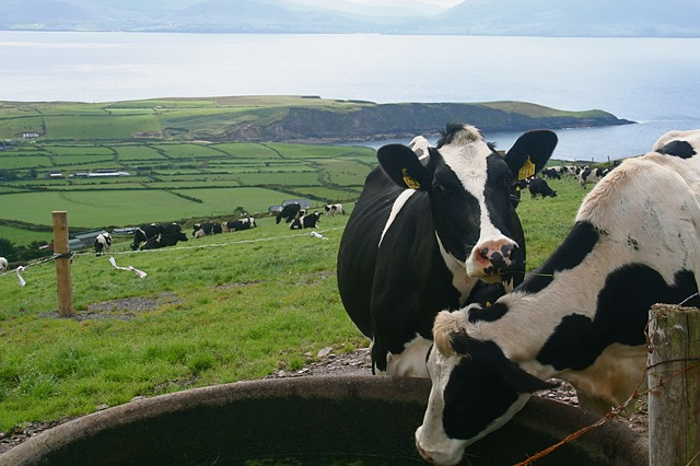cattle-2369463_640