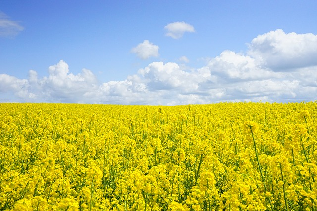 field-of-rapeseeds-474558_640